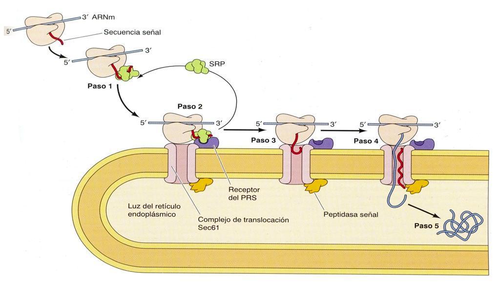 Transporte de proteínas, Retículo endoplásmico