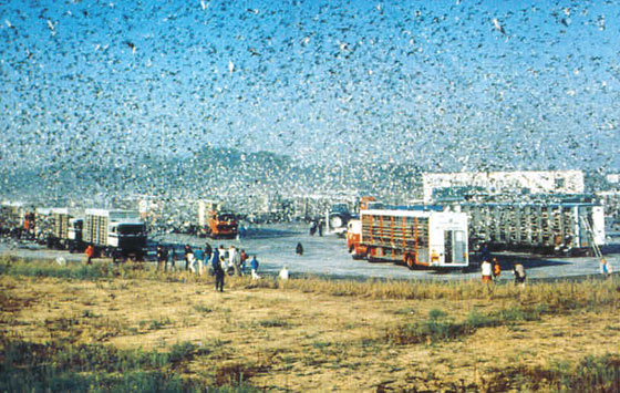 Release of pigeons from the transport trucks to start a race