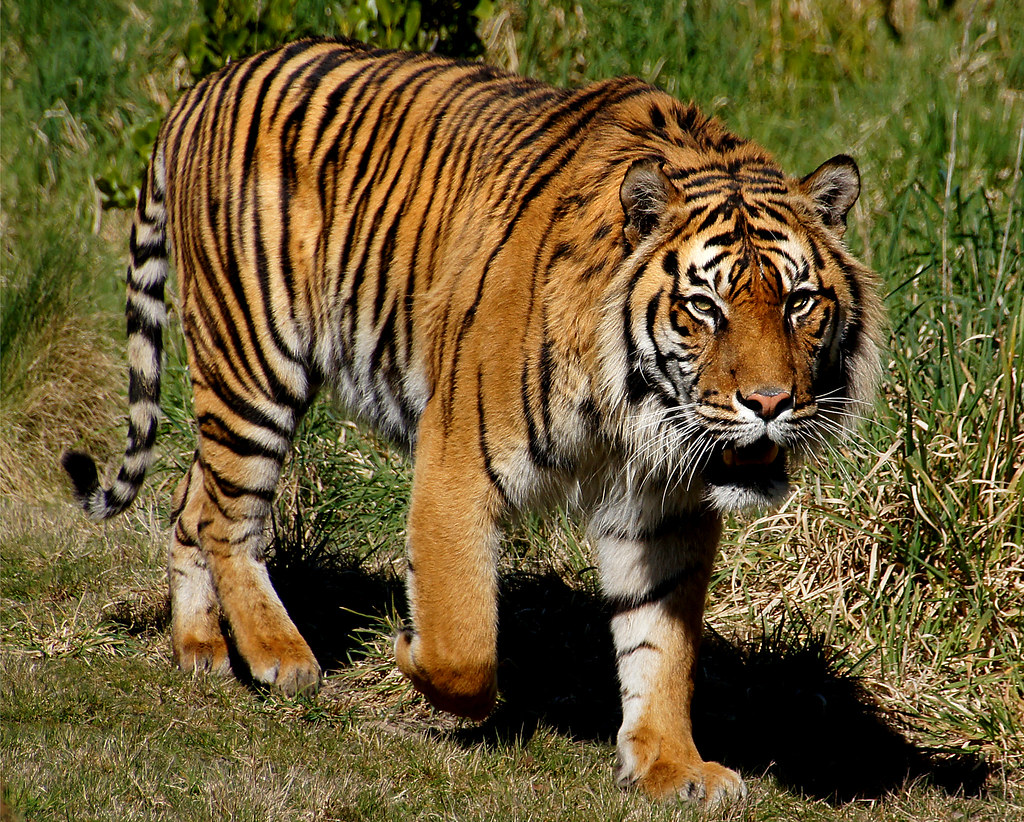 Tigers in united states