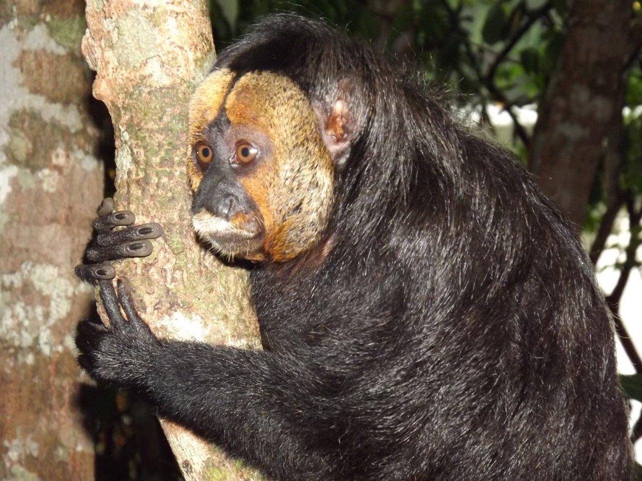 Macaco Parauacu Negro - Black Saki Monkey (1).jpg