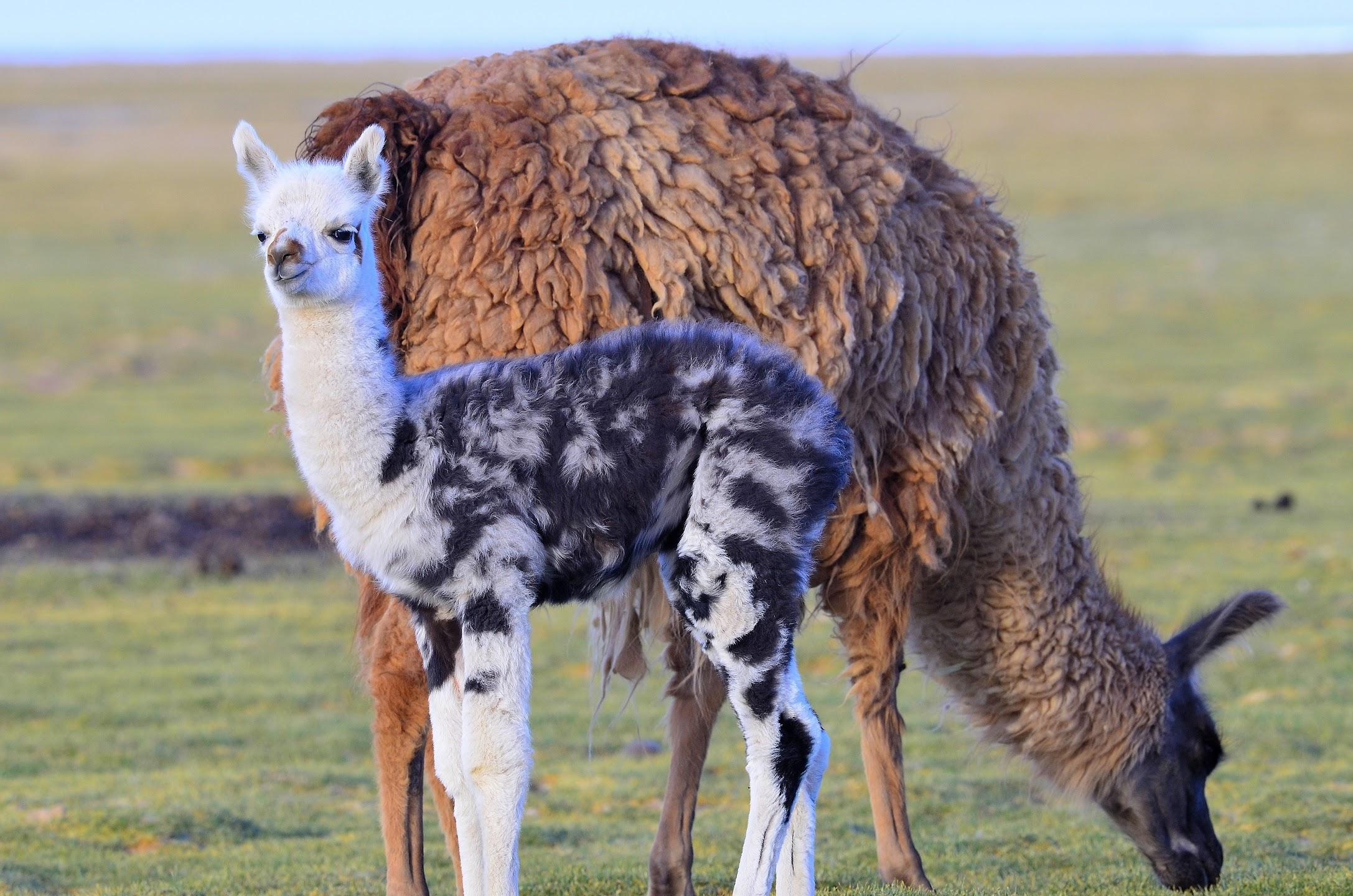 Mamá y bebé llamas pastan cerca del Cerro Tunupa