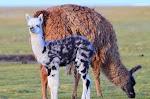 Mom and baby llamas graze near Cerro Tunupa in the vicinity of Salar de Uyuni in Bolivia Photo: Sapo Vallejo.