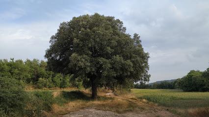 Alzina gran del Vilaró