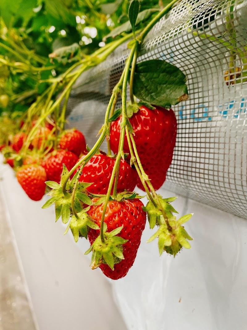 strawberry farm ふじもと
