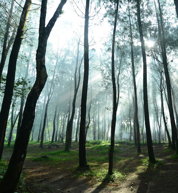 Wisata Pinus Songgon / Rumah Pohon