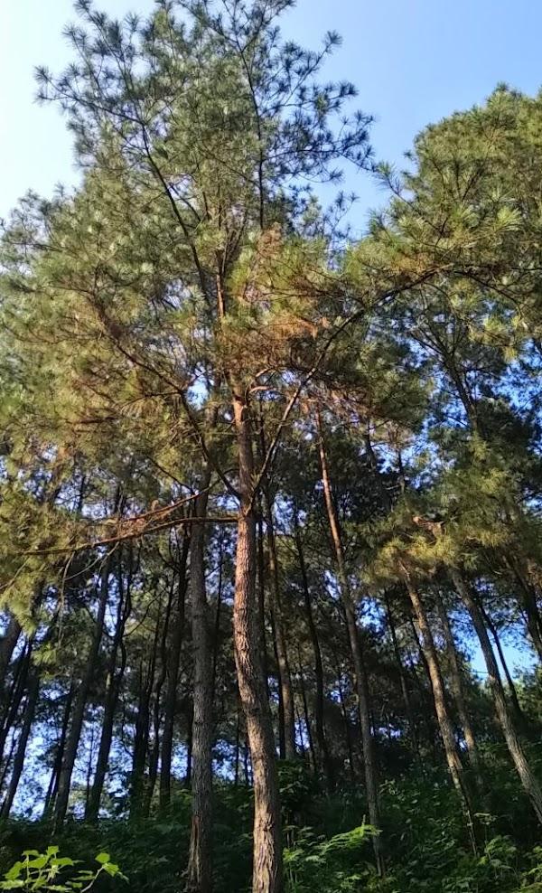 Wisata Alam Pinus Batu Cakra