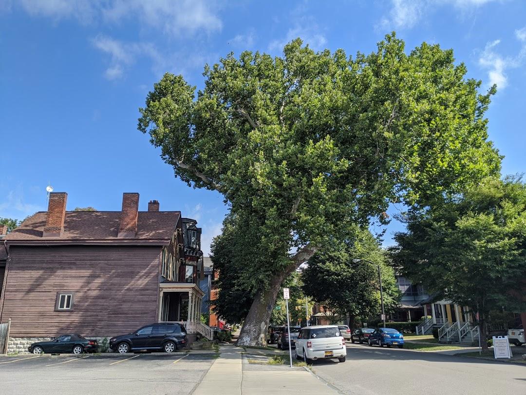 Oldest Tree In Buffalo
