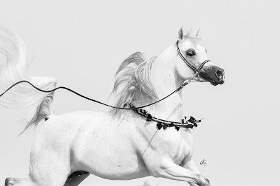 Конезавод Dubai Arabian Horse Stud
