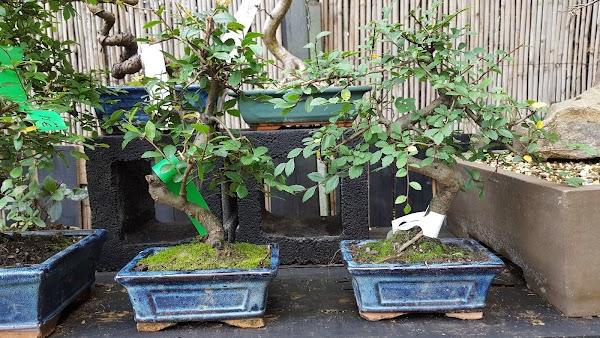 BONSAI CENTER SOPELANA  Diseño y cuidado de bonsais