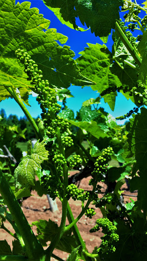 Winery «Schulze Vineyards & Winery», reviews and photos, 2090 Coomer Rd, Burt, NY 14028, USA