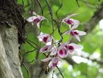Khu Bảo tồn Lan rừng vườn Troh Bư - Buôn Đôn - Việt Nam