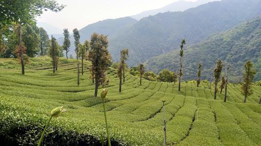 楓林茶葉農場
