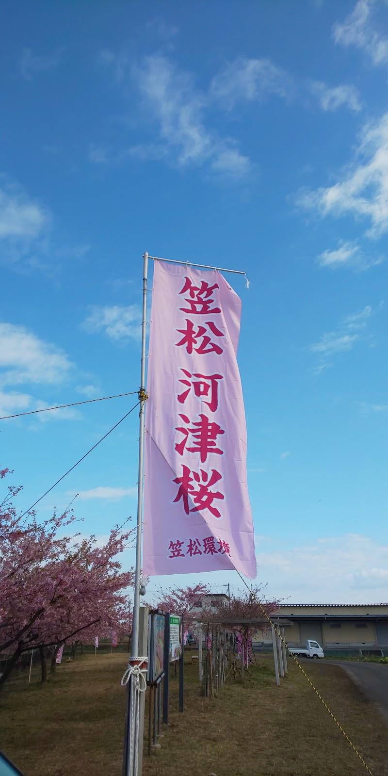 笠松河津桜ロード