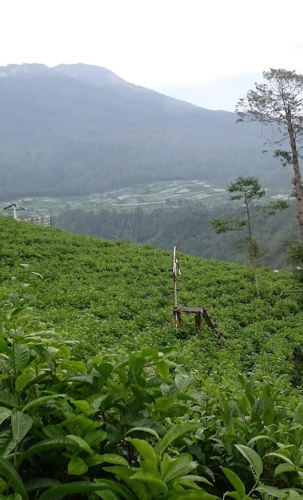 Bagian lain dari Lokasi Kebun teh Kemuning Karanganyar Jateng.  Rekomended untuk menghilangkan penat dari kesibukan sehari hari.