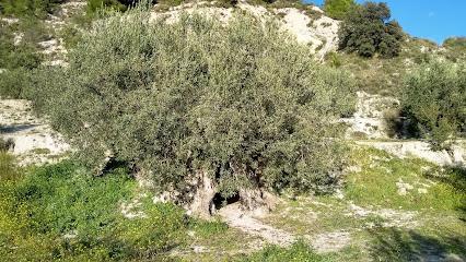 Olivo Bimilenario de Gorga