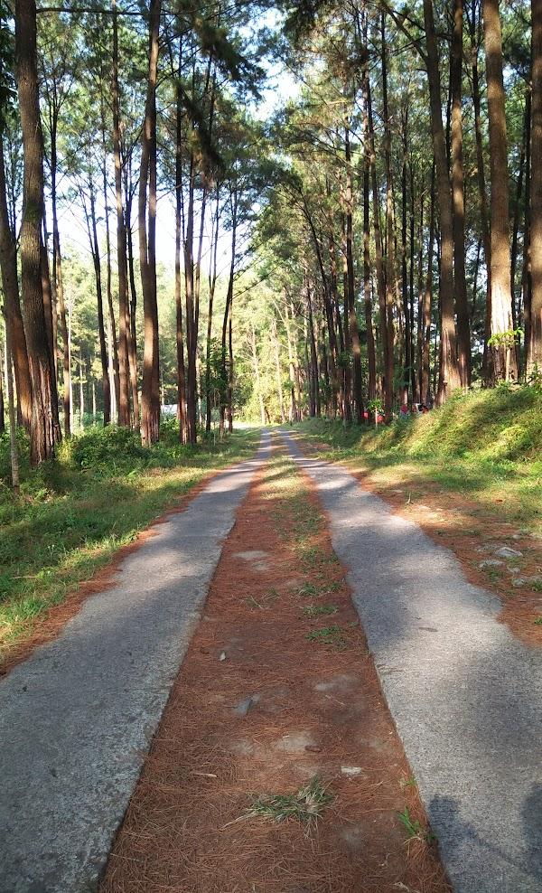 Tempat Wisata Di Wonogiri Hutan Pinus Bukit Suwondo