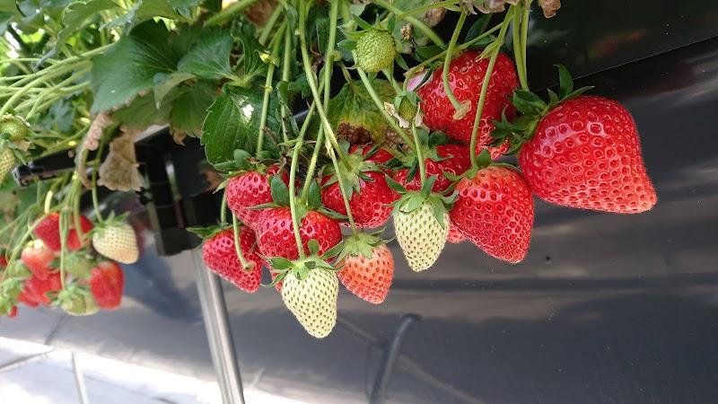 Bee my Berry観光農園 (#木更津ベリーファーム)