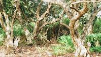 Vườn nhãn cổ trên trăm tuổi