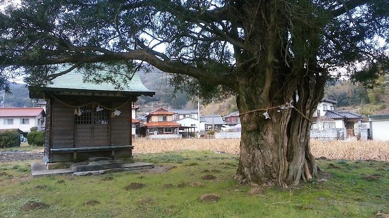 通津のイヌマキ