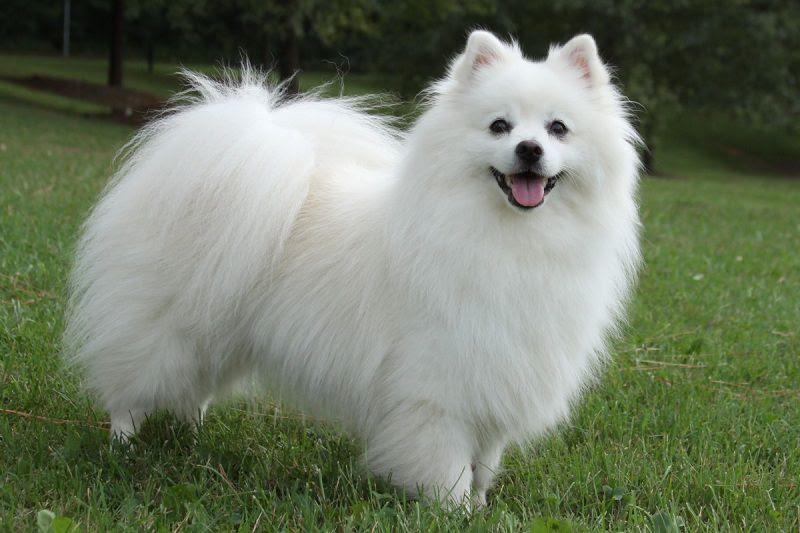 chó eskimo