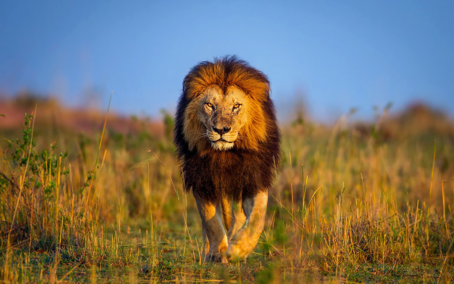 4433983-lion-wallpapers.jpg