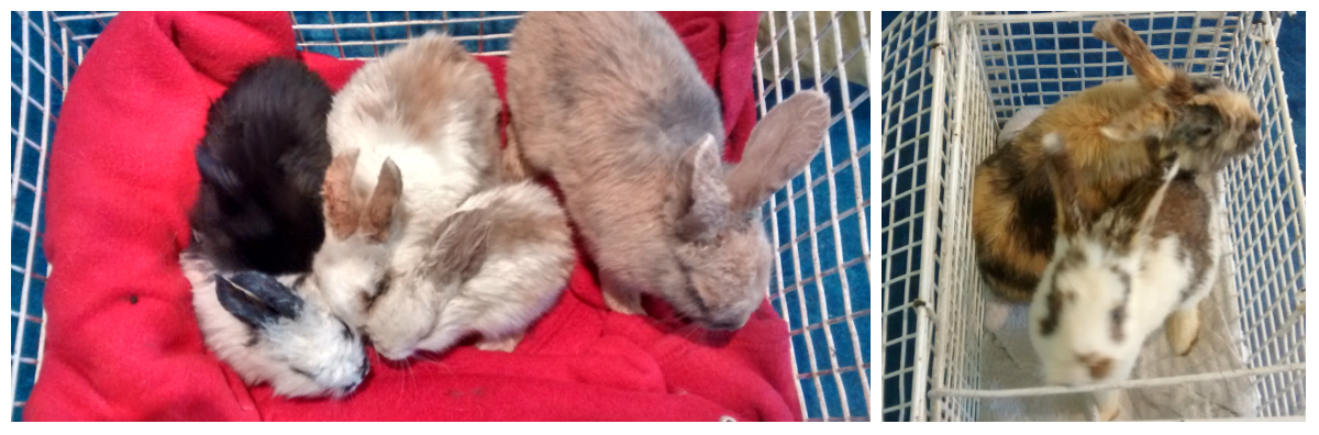 RSPCA appealing for information after nine rabbits are