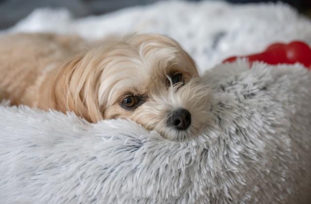 có nhiều nguyên nhân dẫn đến chó ngủ nhiều