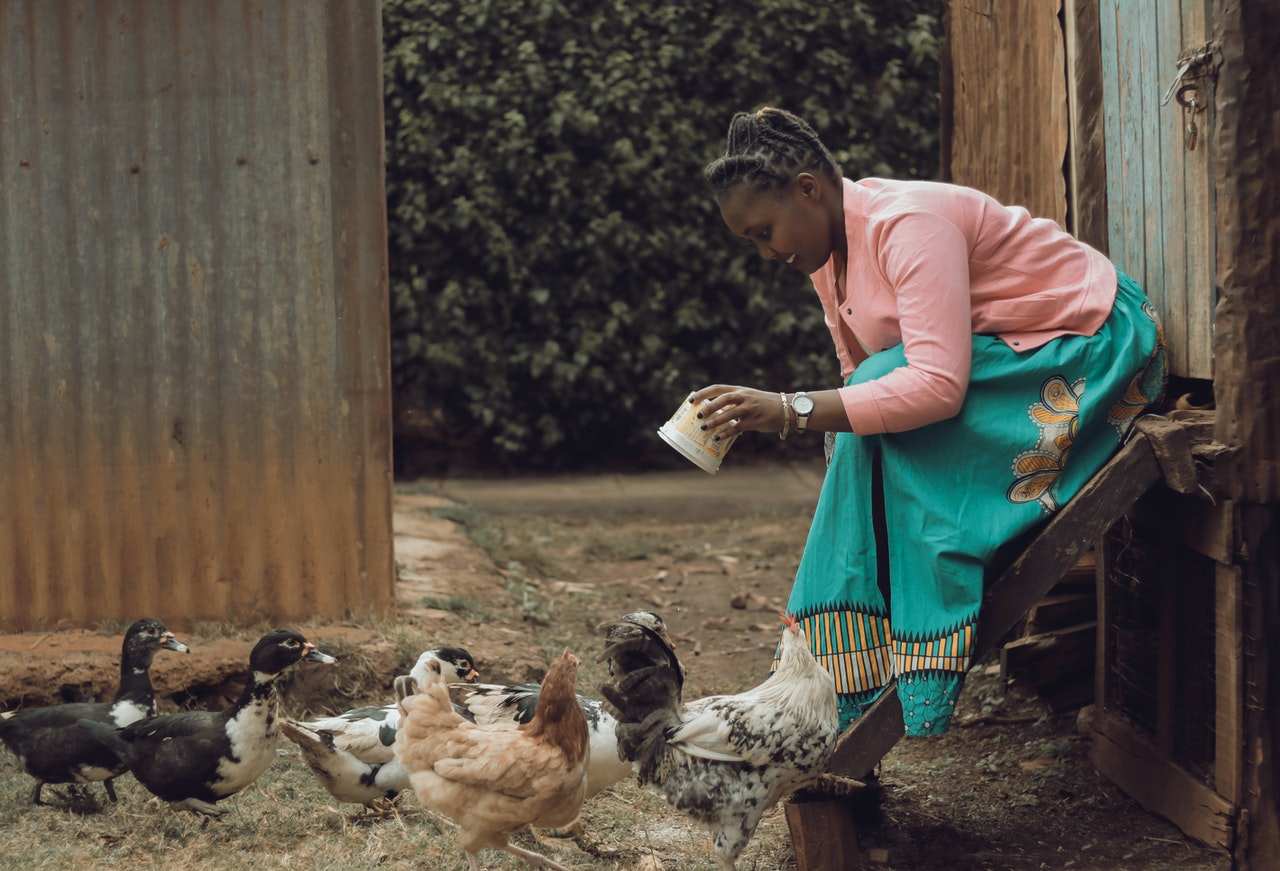 Woman feeding ducks and chickens