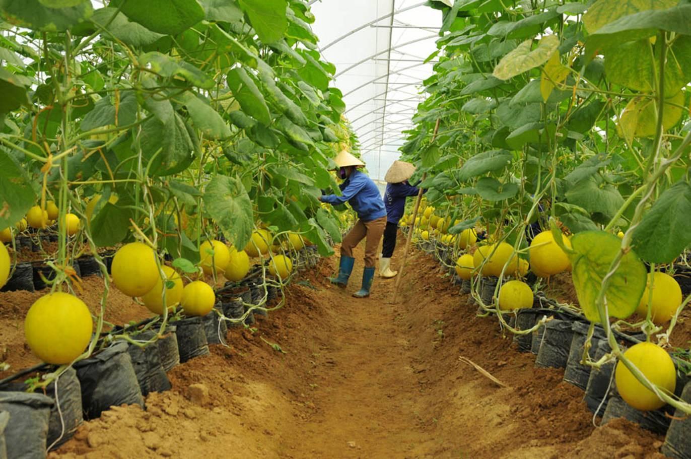 Tại sao đơn hàng nông nghệp thu hút người tham gia xuất khẩu lao động Nhật Bản