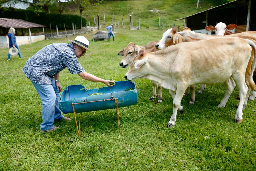 pessoa alimentando gado