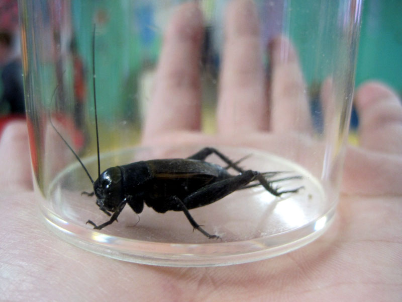 Black cricket in container