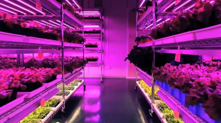 Lựa chọn ánh sáng LED màu đỏ, tím trong nông nghiệp