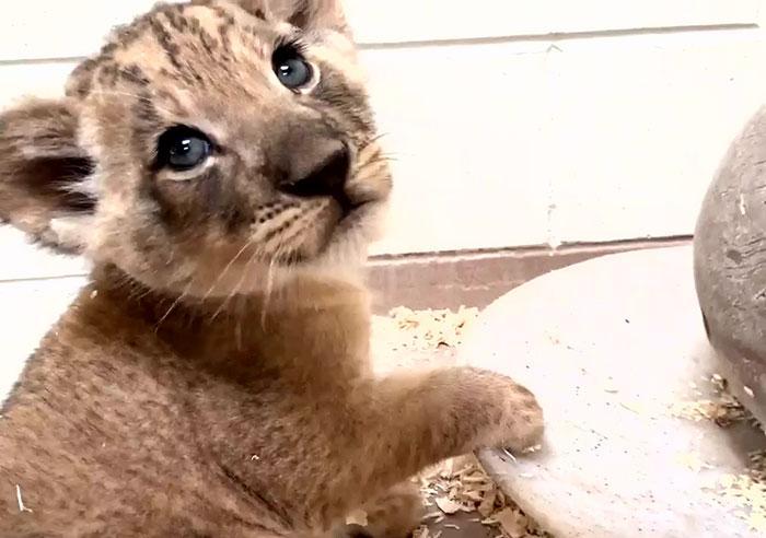 https://static.boredpanda.com/blog/wp-content/uploads/2019/09/lion-cub-father-meeting-crouching-video-denver-zoo-5-5d7f40bcc528f__700.jpg