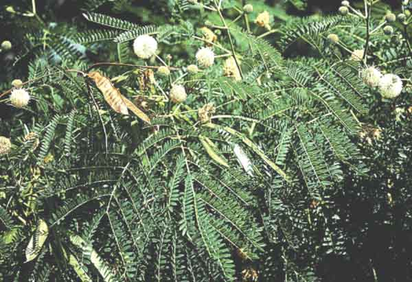 Leucaena showing typical leaves, flowers, and seed pods