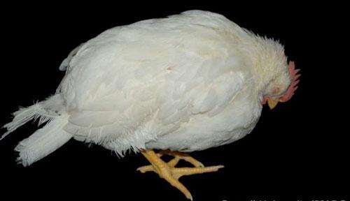 Phòng bệnh newcastle ở gà