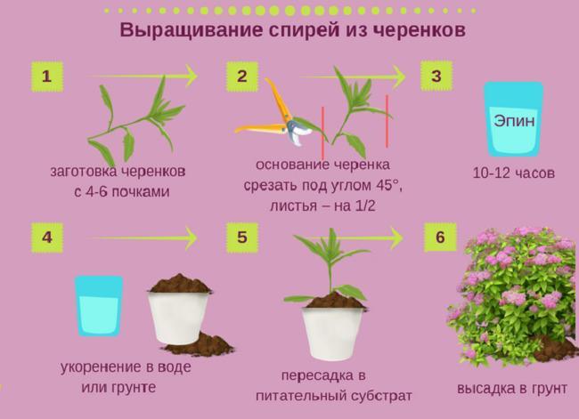 Выращивание спирей из черенков