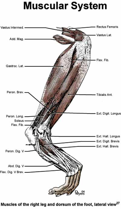 Muscles of the right leg and dorsum of the foot, lateral view [27].