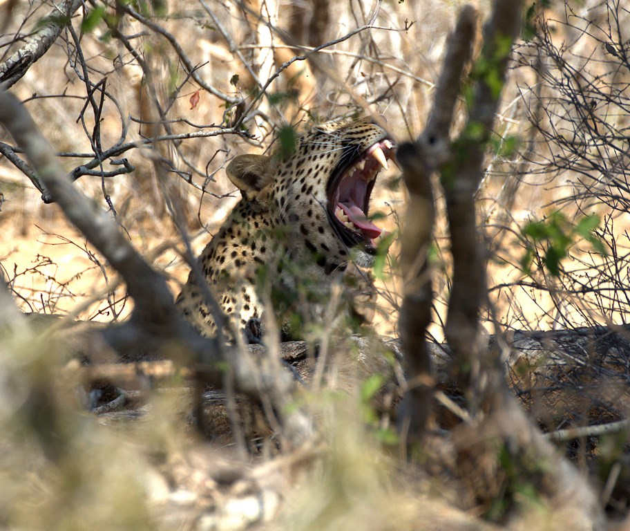 leopard2 (Copy).jpg