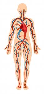 circulatory-system---body-parts---english-for-kids---lingokids
