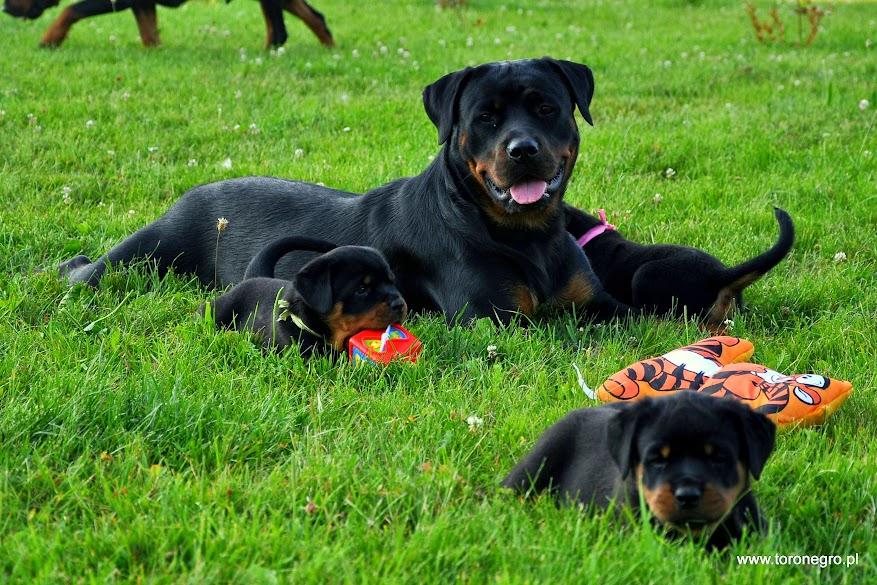 Rottweiler a inne małe psy toro negro