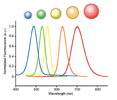 Quantum dots are stable fluorescent probes for protein labeling