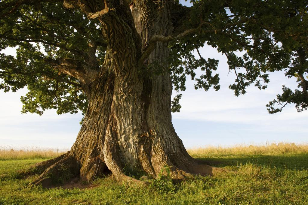 All You Need to Know About the Wise Oak Tree in Culture and History   Golden Tree Ketubah