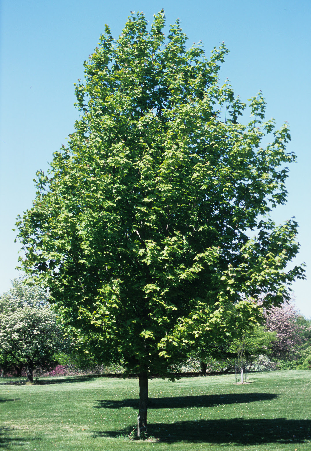 Trees From Chicagoland Grows Crescendo Sugar Maple