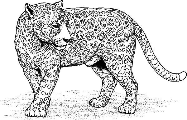 Jaguar Coloring Coloring Pages