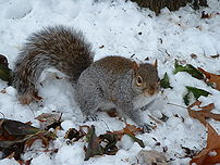 Eastern Gray Squirrel on snow–covered ground w...