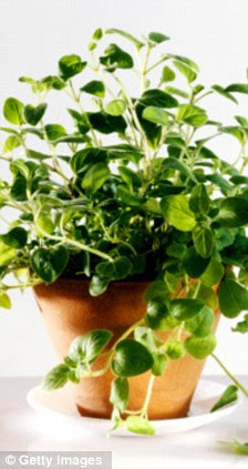 Herbal remedies: Basil, left, can lower blood pressure while oregano can cure thrush