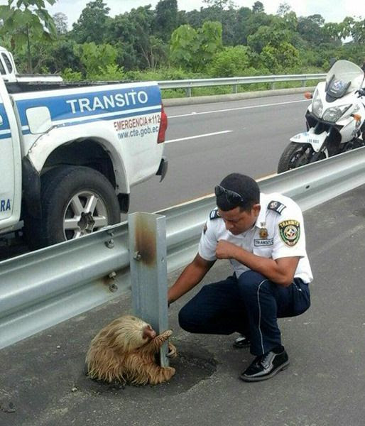 A transit police officer is about to tend to the sloth that was trapped in the middle of a highway in Ecuador.