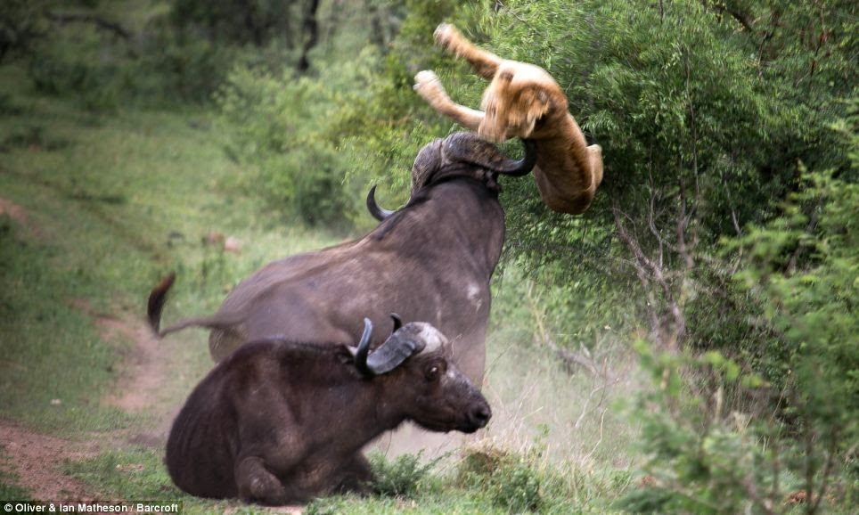 17/18 A large adult buffalo attacks a young lion to protect a young buffalo,