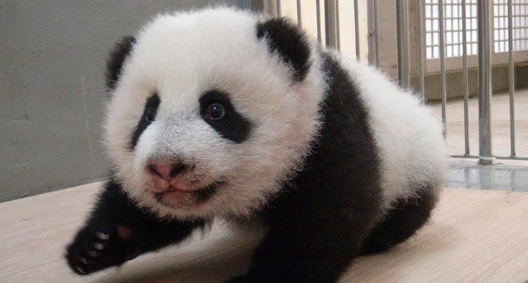Galería De Imágenes Los Osos Panda Bebés