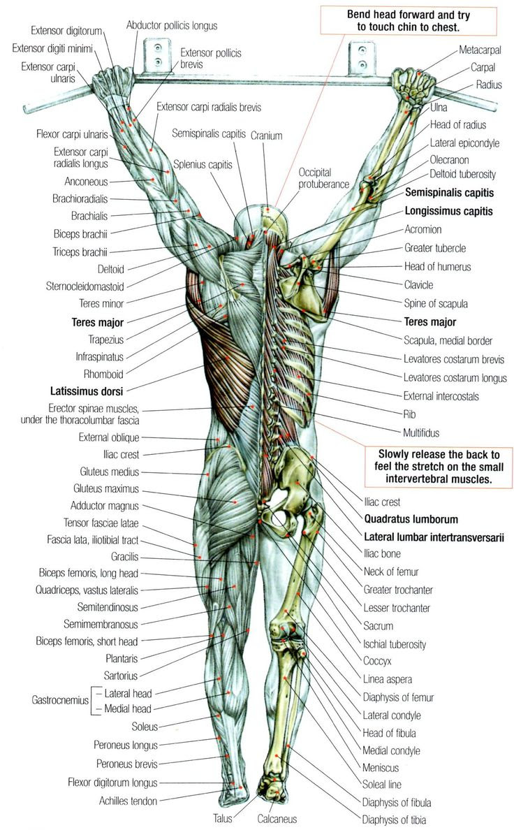 Back-muscles | Anatomy & Physiology | Pinterest